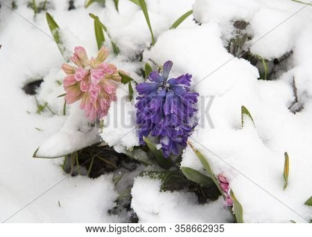 Pink And Blue Hyacinth Flowers Were Under The Suddenly Fallen Snow. You Can See The Inflorescences A