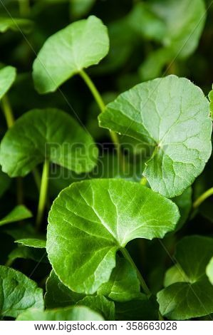 Closeup Of Healthy Green Gotu Kola Leaves Grown Indoors Using Hydroponics.