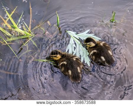 Two Small Ducklings In The River