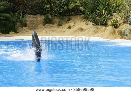 Dolphin Swim Above Blue Water With His Fin. Closeup Of Dolphin. Intelligent Mammal In The Pool. Bott