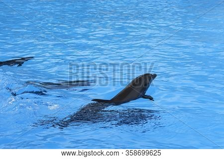Group Of Dolphins Swim In The Blue Water. Closeup Of Dolphin Heads. Intelligent Mammal In The Pool.