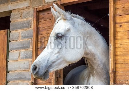 Beautiful White Arabian Horse Looking Out Of Stall Window At Brick Stable - Arabian Horse Portrait