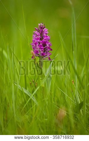 Rare European Spring Flower Of Orchis Mascula