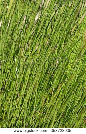 Water Horsetail - Latin Name - Equisetum Fluviatile