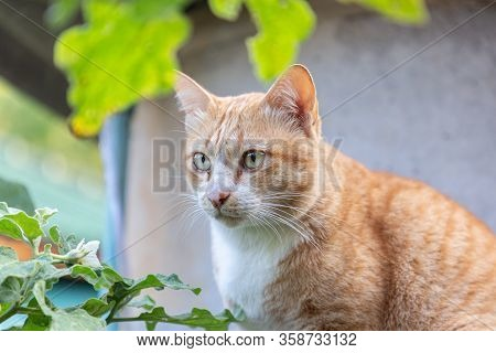 Thai Cat Look At Camera. Animals Cat. Domestic Animal. Animal In Nature. Animal Life. Outdoors Domes
