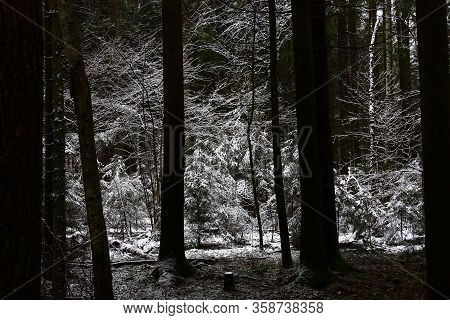 Young Deciduous And Coniferous Trees On A Small Clearing Are Distinguished From The Dark Coniferous
