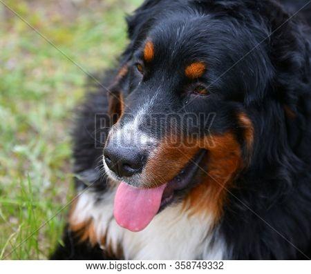 Bernese Mountain Dog Or Bernese Shepherd On A Walk