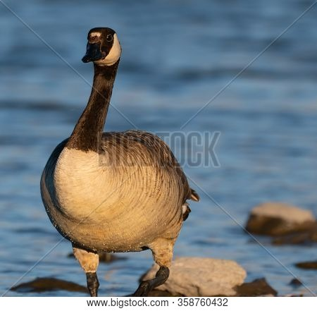 A Canadian Goose Looks At The Camera While Standing In The Lakes Shoreline In The Late Afternoon Lig