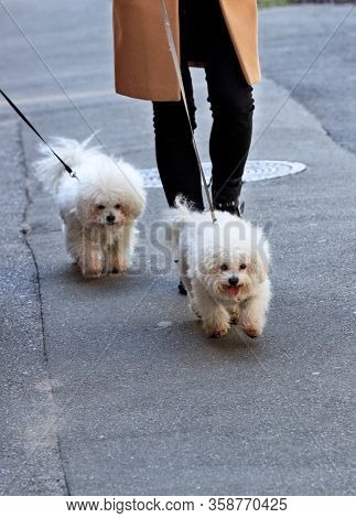 White Bichon Frize Dogs Walk On A Leash, Accompanied By Their Mistress, On The Asphalt Sidewalk.