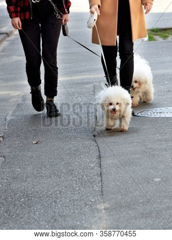 White Bichon Frize Dogs Walk On The Asphalt Sidewalk On A Leash, Accompanied By Their Mistresses, Im
