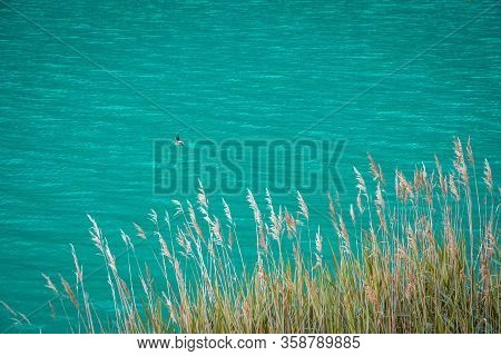 Tranquil Scene. Duck Swims On The Lake. Feather Grass. Abstract Natural Background