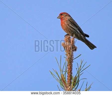 A House Finch Sits On The Very Top Of A Pine Tree In The Late Afternoon Light.