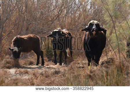 River Buffalos. Species Of Wild Ungulates Reproduced In The Al Azrak Reserve In Jordan. Drying Marsh