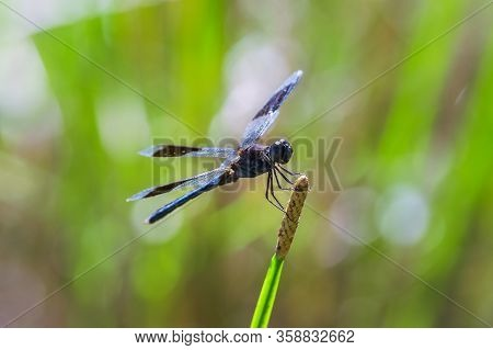 Nature Closeup Of Dragonfly Insect. Dragonfly Insect In Nature. Nature Insect Dragonfly On Green Pla