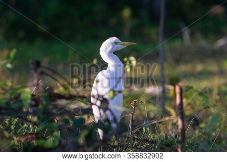 Close Up Of Heron Bird In Nature. Amazing Nature. Close Up Of White Heron Bird In Nature. Heron Bird