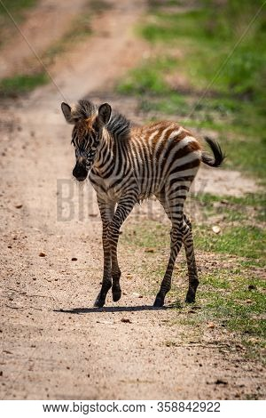 Plains Zebra Foal Crosses Track In Sunshine
