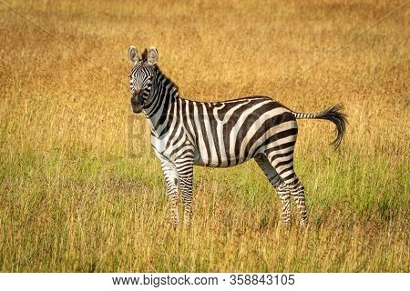 Plains Zebra Stands Flicking Tail In Grass