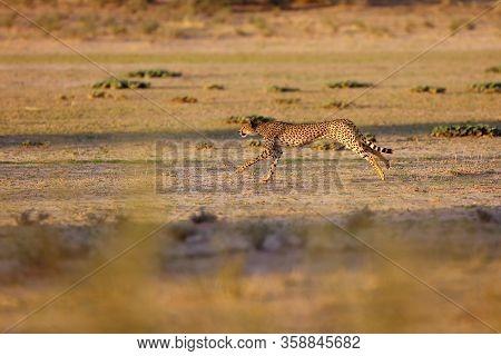 Cheetah (acynonix Jubatus) In The Desert.the Cheetah Is Going To Attack.cheetah In Running, Photo Of