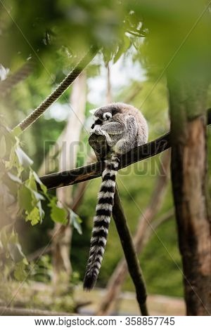 Ring-tailed Lemur - Lemur Catta, A Small Monkey With A Long Striped Tail Sitting On A Tree Branch In