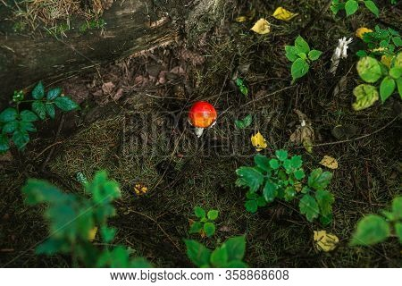 Amanita. Poisonous Red Mushroom In The Summer Forest. Inedible Toxic Mushroom. Dangerous Fly Agaric.