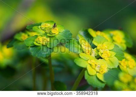 Blooming Golden Saxifrage Chrysosplenium Alternifolium With Soft Edges. Has Healing Properties.