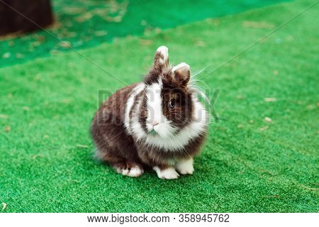 Cute Dwarf Decorative Fluffy Rabbit. Bunny On Green Grass Background. Easter Bunny. Home Decorative