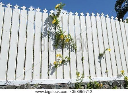 Yellow Flowers Growing Through White Fence In Charlotte Amalie Town On St. Thomas Island (u.s. Virgi