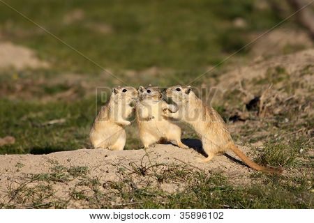Great gerbils