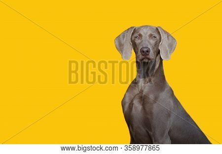 A Beautiful Hunting Dog Of The Weimaraner Or Weimar Pointer Breed Looks At The Camera Isolate On The