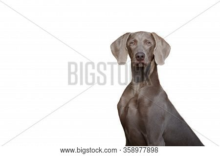 A Beautiful Hunting Dog Of The Weimaraner Or Weimar Pointer Breed Looks At The Camera Isolate On A W