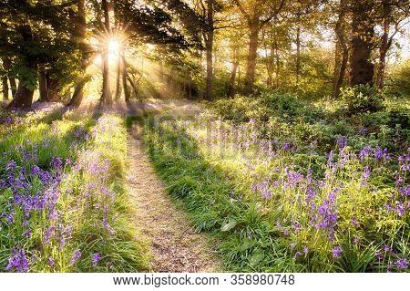 Amazing Bluebell Forest With Dawn Sunrise Bursting Through The Trees. Woodland Path And Purple Wild