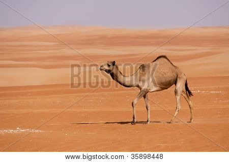 Lone Camel in the Sand Dunes