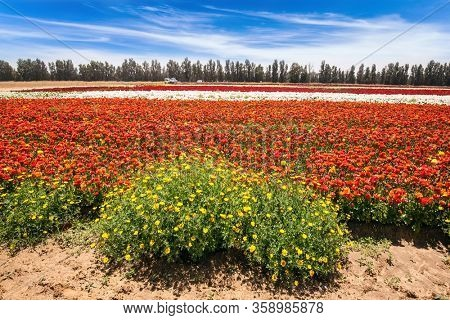 Israel. Beautiful sunny spring day. Spring walk in southern. Kibbutz field of flowering colorful buttercups. Ecological, botanical and photo tourism concept