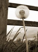 Sepia toned close-up of dandelion clock with wooden fence poster