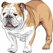 COLOR sketch of the dog English Bulldog breed poster