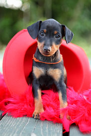 The Miniature Pinscher Puppy