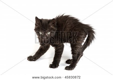 Frightened black kitten standing in front of white background poster