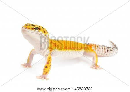 Gold Band Leopard Gecko