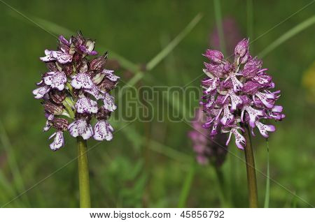 Lady Orchid with Hybrid