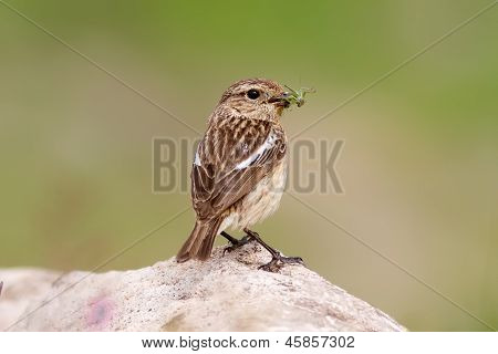 Whinchat Feeding