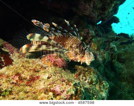 Lion Fish on the Rocks in Egpyt poster