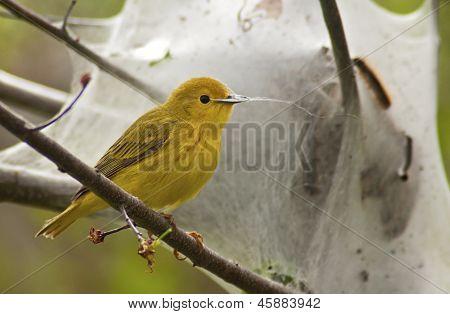Yellow Warbler Foraging