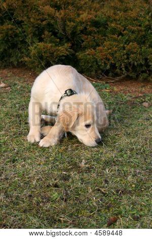 Golden Retriever Puppy Sniffing