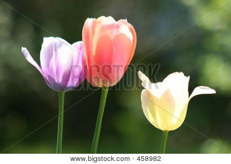Three Easter Tulips - Close