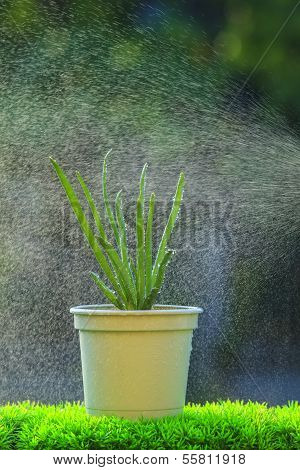 red onion plant with water spray in green house use for healthy clean  organic food