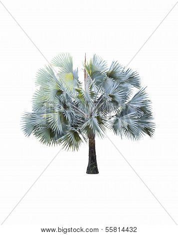 Bismarck Palm Tree ( Bismarck Nobilis ) On White