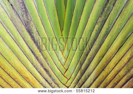 Closeup Pattern of traveller palm tree(Ravenala Madagascariensis poster