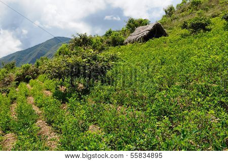 Bolivia coca plants in the Andes Mountains near Coroico The photo present the coca plantation. poster