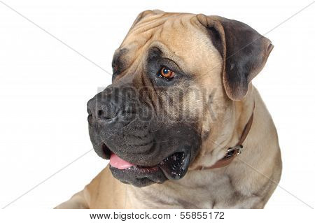 Dog Is  Large Breed. Photography Studio On White Background.