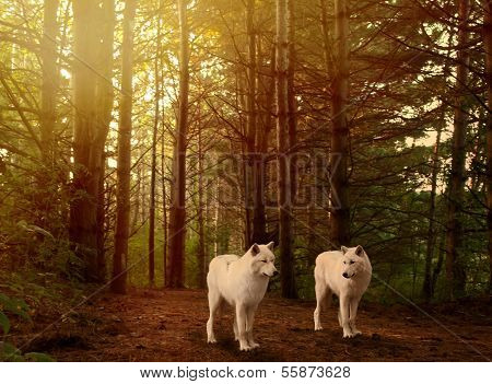 Wolves In Woods